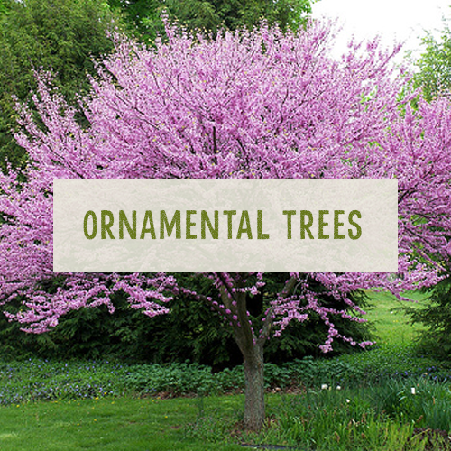 Ornamental trees uk 100 images a e products chestnut for Flowering ornamental trees zone 5